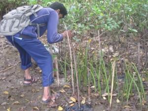 シドアルジョでのマングローブの苗床づくり