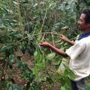 東ティモール:今年のコーヒー収穫も佳境を迎えています。