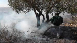 焼かれるオリーブの木