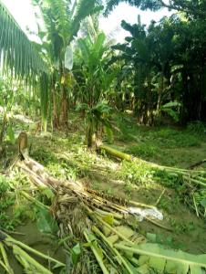タンハイ バナナ被害