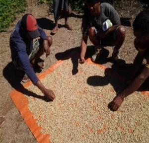 パーチメント乾燥中にも欠陥豆を除去