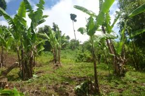 ミンダナオ島レイクセブ。圃場によっては標高1000m以上のところでバランゴンバナナが栽培されています。