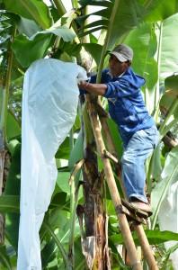 バナナの表面に、葉のこすれなどによるキズや虫害を防ぐために、バナナの実に袋をかけるパンダノン村の生産者。
