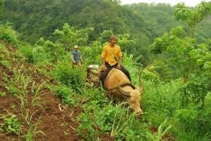 水牛を使ってバランゴンバナナを運ぶ生産者(西ネグロス州)