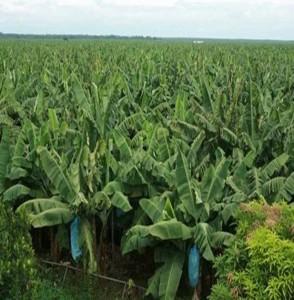 バナナプランテーション