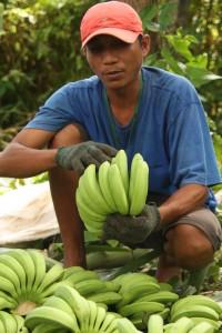 バナナの本数を数える買付け担当者(へ賀詞ネグロス州)