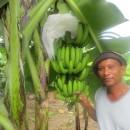 パナイ島のバランゴンバナナ、度重なる台風被害からようやく回復! ~バランゴンバナナが豊作です!~