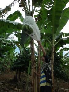 復活したバランゴンバナナ