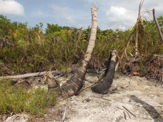 農薬で破壊されたココナツ