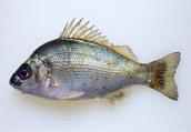 絶滅しつつある魚