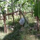 バナナニュース254号:フィリピンで干ばつ!!~バランゴンバナナ産地被害状況~