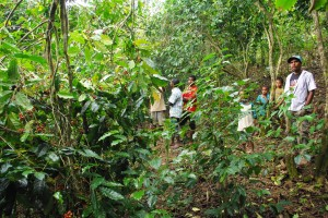メストゥト村の生産者のコーヒー畑で収穫指導