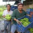 バナナニュース260号:干ばつ被害からバランゴン復活!豊作です!!