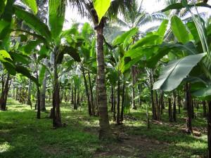 ココナッツと混植されたバランゴンバナナ圃場