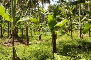 干ばつの影響を受けたバランゴンバナナ圃場(2016年6月)