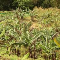 バランゴンバナナ産地で、アミハン(季節風)が発生しました。