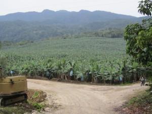 高地栽培バナナのプランテーション
