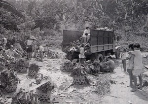 当初の、バランゴンバナナの山間地からの運び出し