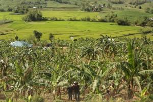 バランゴンバナナ産地には水田も多く見受けられます。