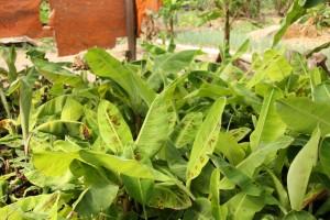 カーレス町ではバランゴンバナナの苗作りにも取り組んでいます。
