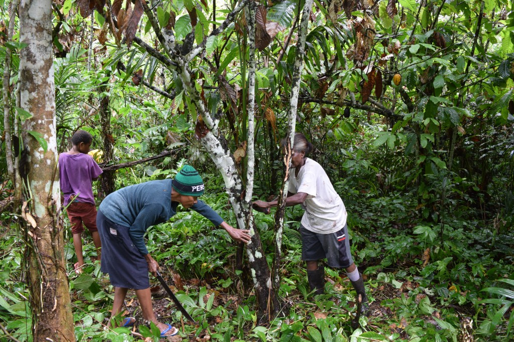 カカオの木の周辺の下草刈り