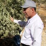 ファラージさんとオリーブの木