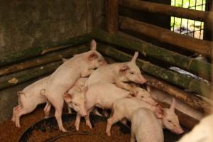 ボニファシオさんは養豚事業も行っています。
