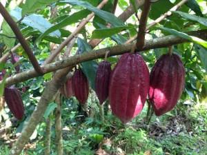 カカオの果実