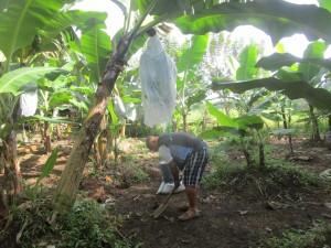 バランゴンバナナの手入れ作業中