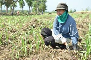 サトウキビは有機栽培、除草は手作業で。