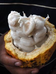 カカオポットの中には白い果肉に包まれた種が詰まっています。