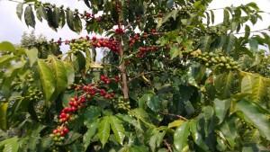 エホヘザ・コーヒー農場