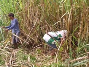 サトウキビの収穫