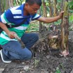 バナナの脇芽を管理するレッジさん。1本のバナナから実を収穫できるのは1回だけです。脇芽が大きくなって次の実をつけます。脇芽は10本以上出てきますが、ATPIは1本だけ残すように推奨しています。