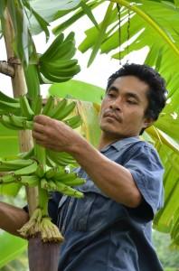 バナナの病気を防ぐために袋がけ前に花芽を摘み取ります。