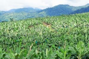 高地栽培バナナプランテーション