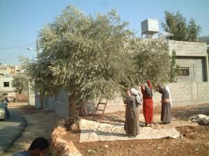 家族でオリーブの収穫