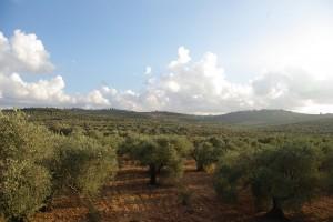 広がるオリーブ畑