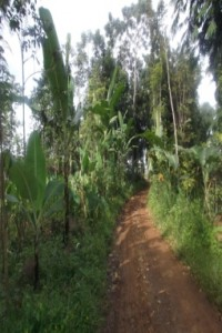 ファベラさんのバナナ畑