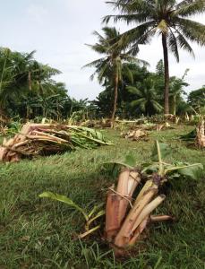 洪水で流されたタンハイのバランゴンバナナ
