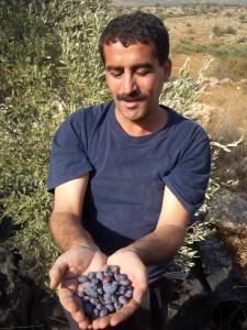 収穫されたオリーブの実