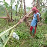 強風によって倒されたバランゴンバナナを悲しそうに見つめるマドロンさん
