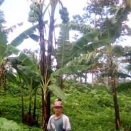 【バナナニュース273号】北ミンダナオのバランゴンバナナ生産者紹介 ~セルソ・ファベラさん~