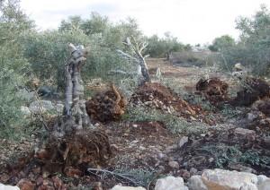 引き抜かれたオリーブの木