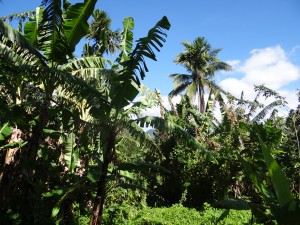 レニボイさんのバランゴンバナナ畑。強風被害で葉っぱが切れ切れになってしまうことも。「一度の台風で、収穫量が8割も減ったこともあります」と、レニボイさん。