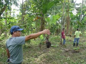 バランゴンバナナの苗。わき芽を使用。