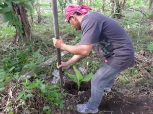 バナナの苗の植えつけ