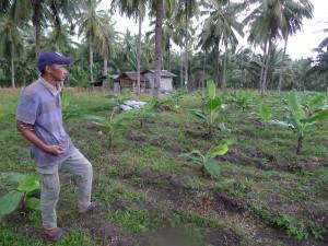 バナナの作付け:新たに植えたバナナ