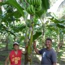 【バナナニュース278号】バランゴンバナナが豊作です! 夏は冷やしてどうぞ