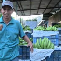 【バナナニュース279号】乾季を無事に乗り越えて、順調に生育中